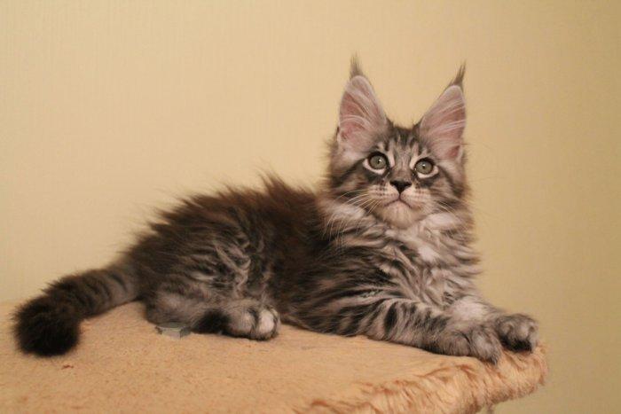 Милый котёнок мейн-кун