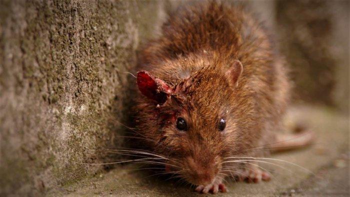Крысы – переносчики болезней