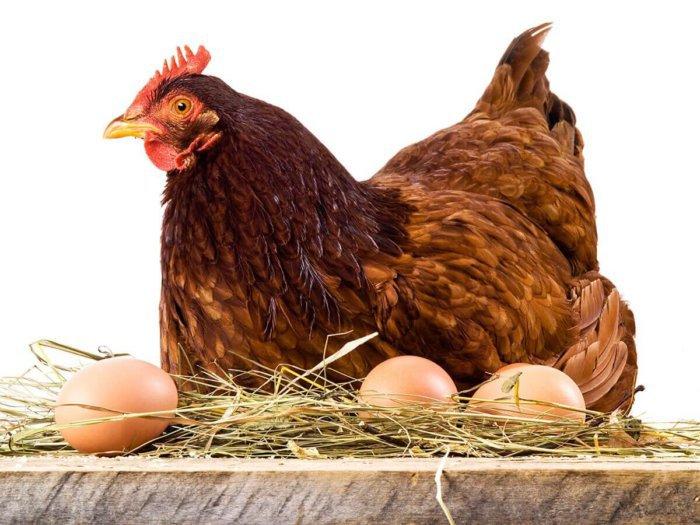 Курица-несушка
