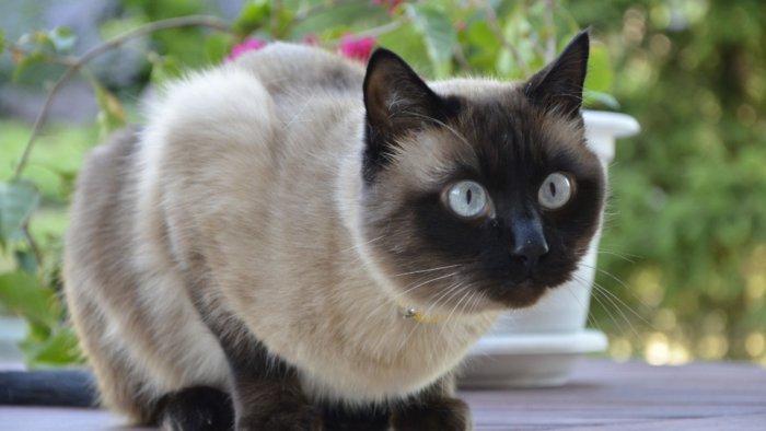 Сиамы – ближайшие родственники ориентальных кошек