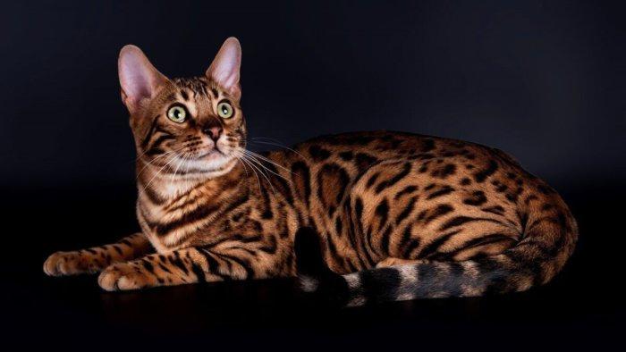 Бенгальская кошка умна, грациозна и красива