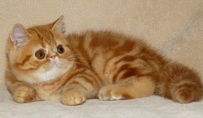 Экзотическая кошка красный мрамор