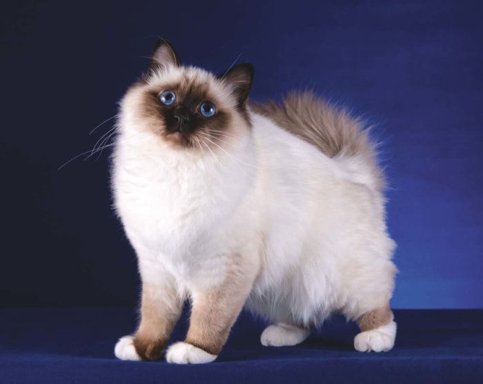 Голубоглазая кошка породы бирма