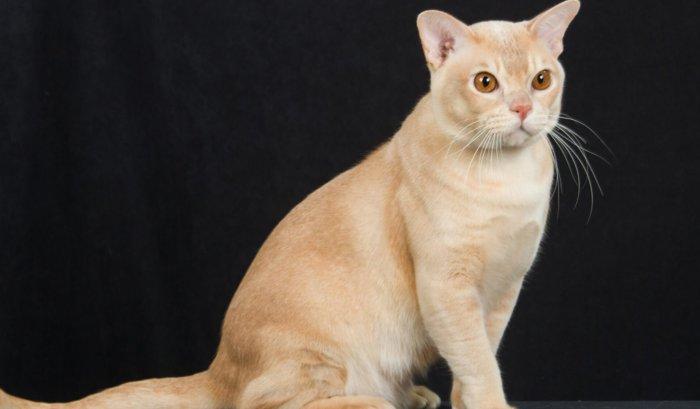 Красная бурманская кошка