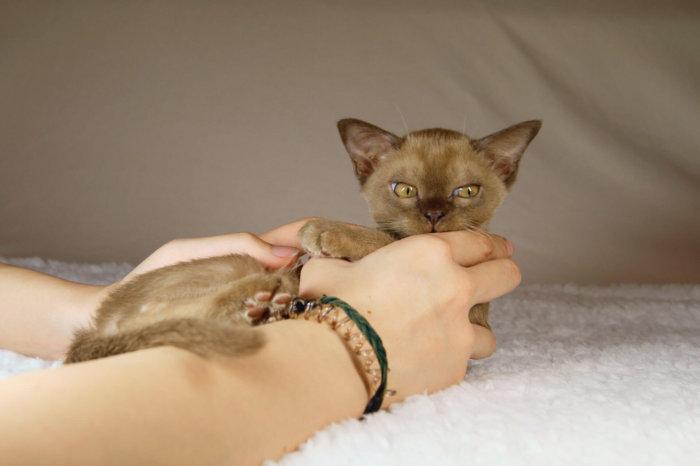 Котёнок бурма в руках хозяйки
