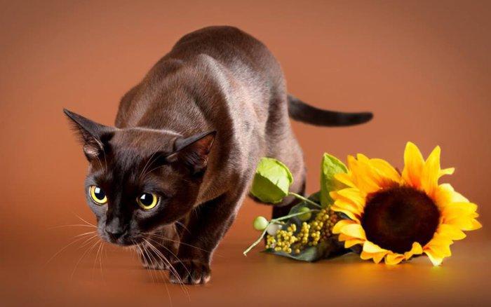 Блестящая шерсть бурманской кошки