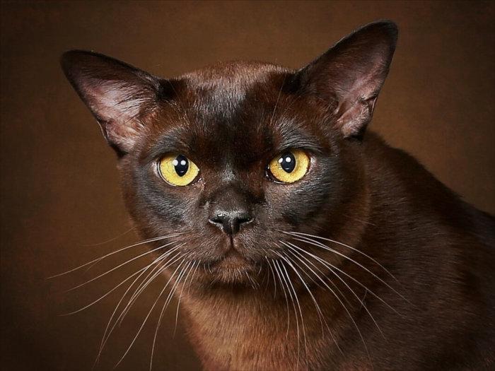 Взгляд бурманской кошки