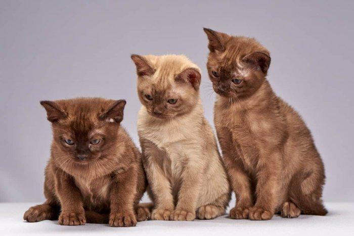 Котята бурманской породы