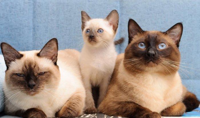 Семья тайских кошек