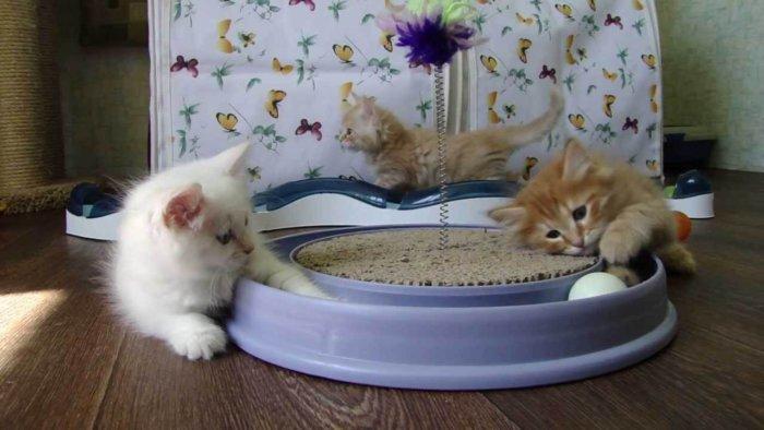 Сибирские котята играют