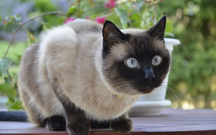Кошка бурма происходит от сиамской