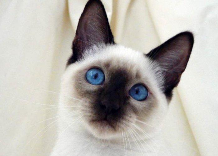 Удивительные глаза тайской кошки