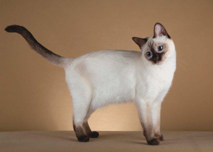 Тайская кошка красива и грациозна