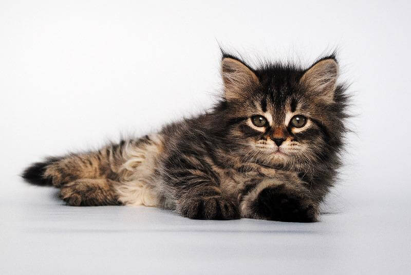 это фото сибирских кошек и котят настоящий момент она