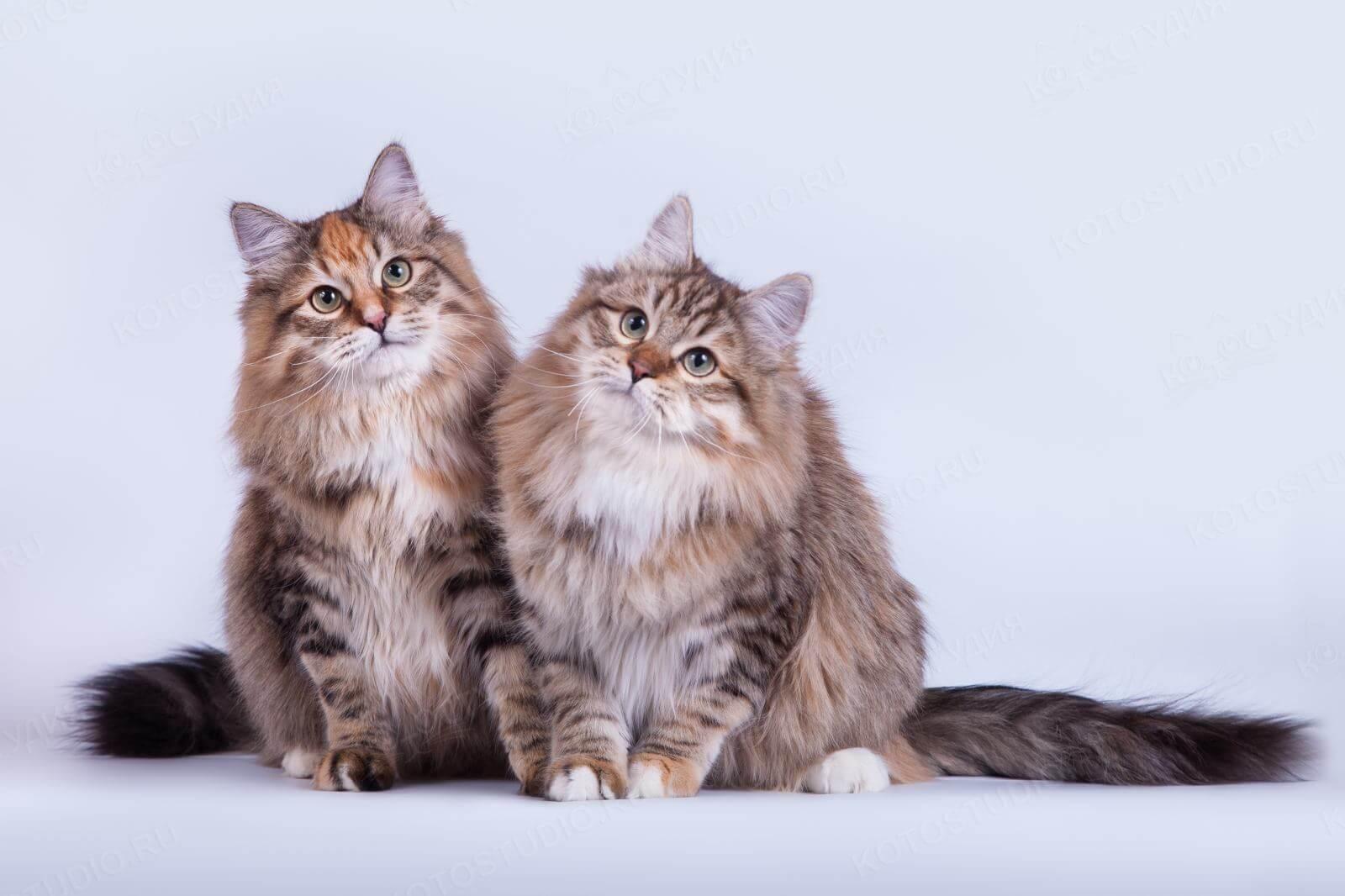 Котята сибирской породы картинки