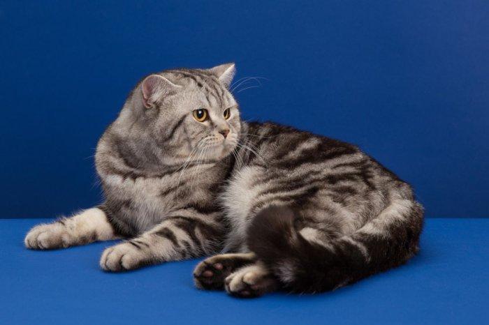 Шотландская прямоухая кошка скоттиш-страйт