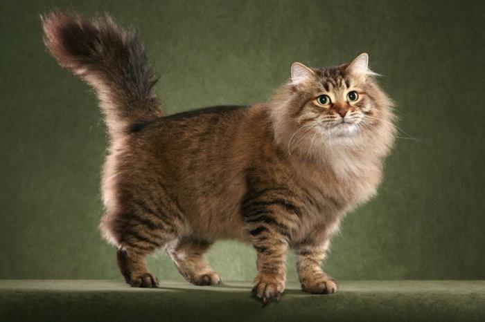 Экстерьер сибирской кошки