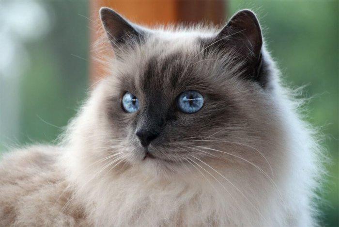 Кошка бирманской породы с голубыми глазами