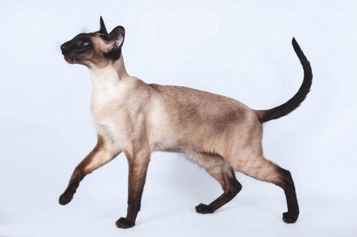 Сиамская кошка грациозна и изящна