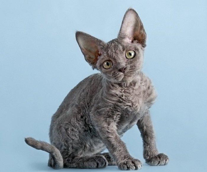 Ушастый котёнок девон-рекс