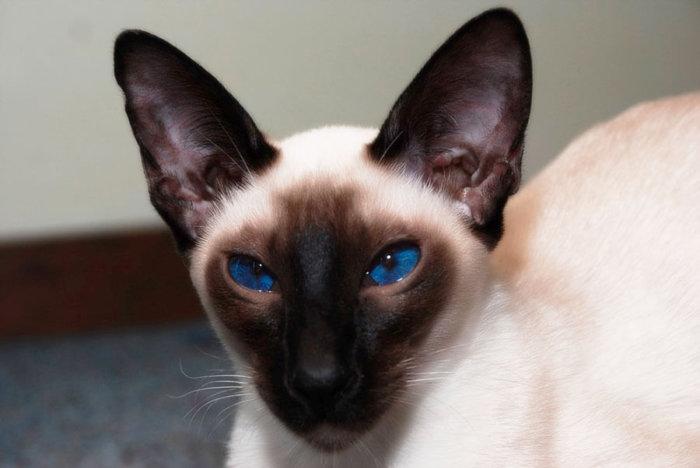 Сиамская порода кошек очаровывает своей красотой