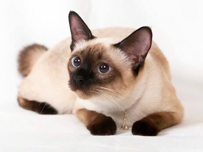 За шерстью сиамской кошки легко ухаживать