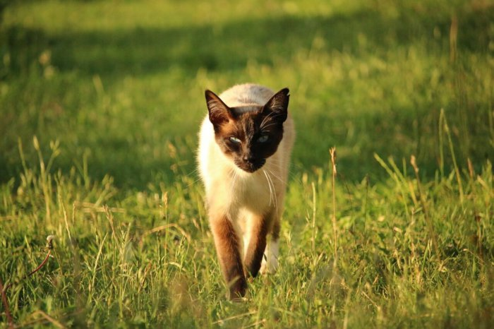 Сиамской кошке полезен выгул, но под присмотром хозяина