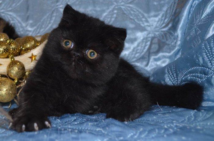 Чёрный кот экзот