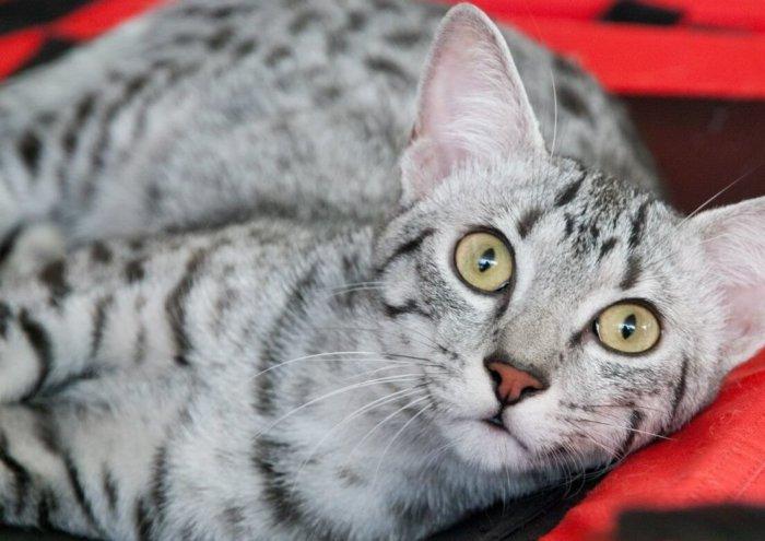 Египетские мау – умные кошки