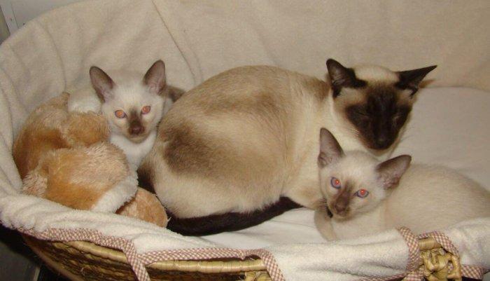 Сиамские кошки – хорошие матери