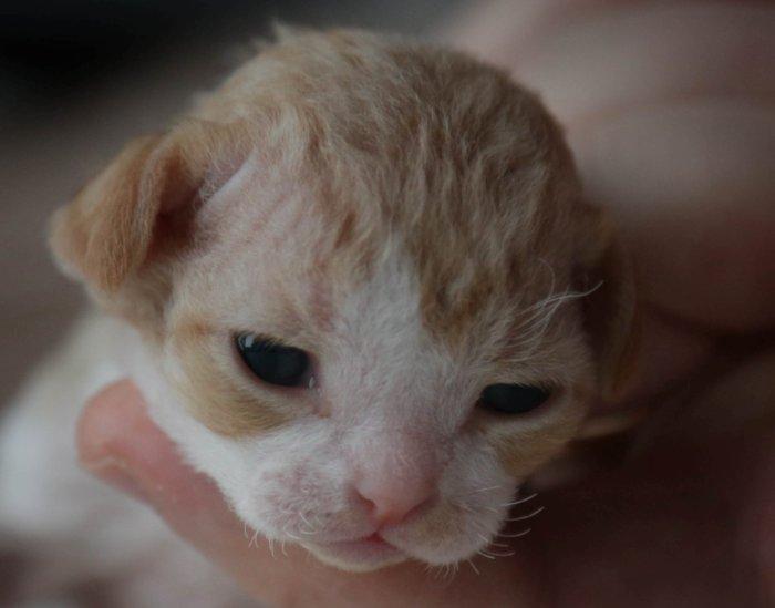 Новорождённый котёнок девон-рекс