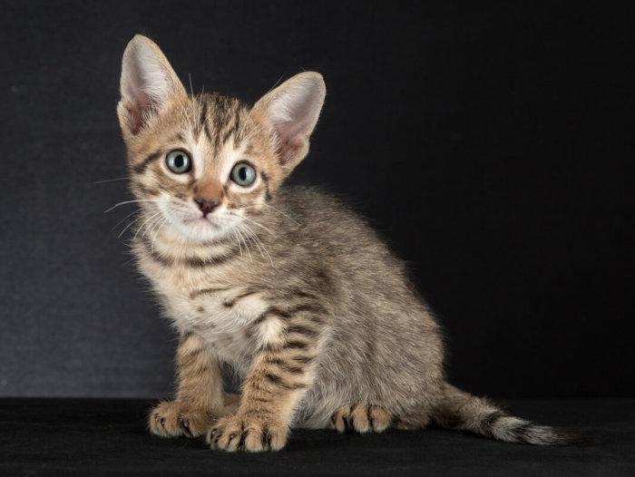 Котенок породы египетская мау
