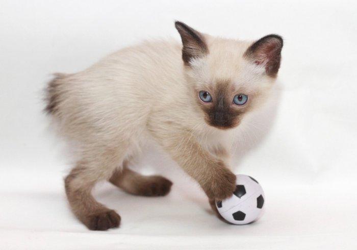 Котёнок породы меконгский бобтейл