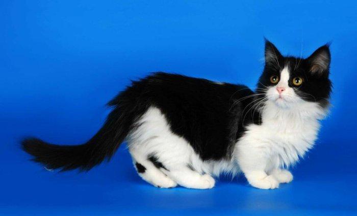 Чёрно-белый котик манчкин