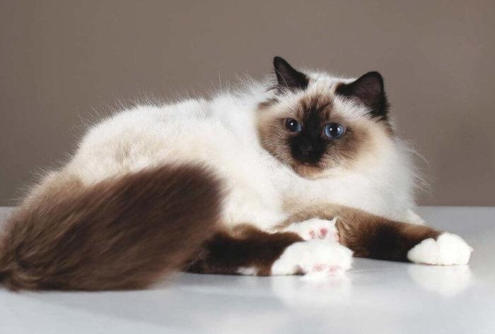Белые тапочки на лапах у кошки бирма