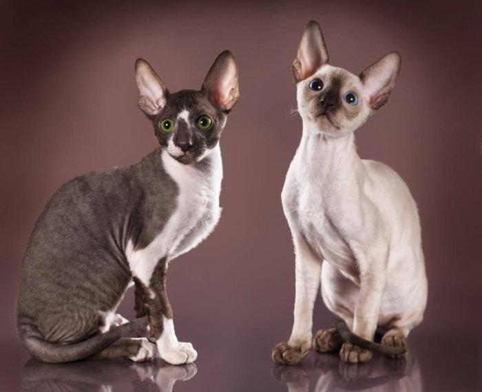 Каракулевые кошки корниш-рекс