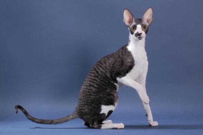 Кудрявая кошка