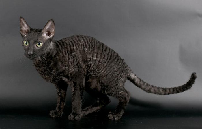 Кот корниш-рекс