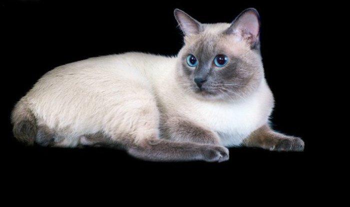 У меконгского бобтейла голубые глаза