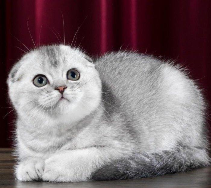 Шерсть шотландской вислоухой кошки густая и плотная