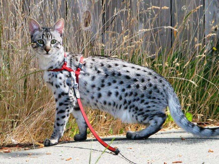 Кошка саванна на выгуле
