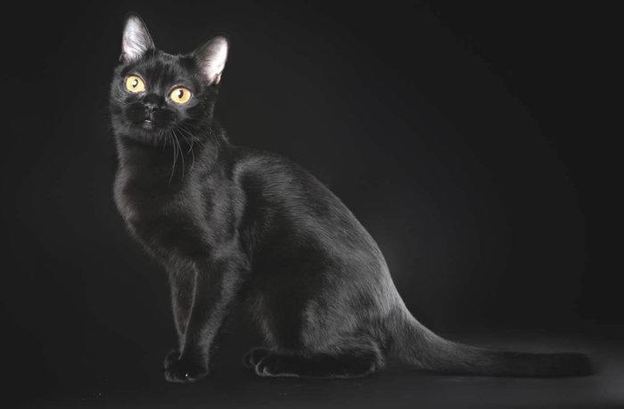 Грациозная бомбейская кошка