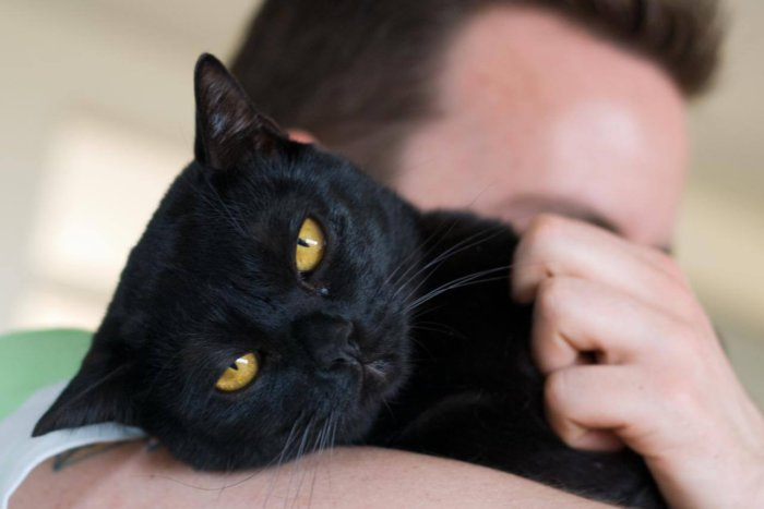 Кошка бомбейской породы любит ласку