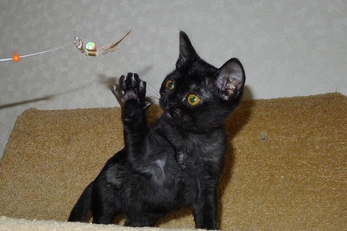 Котёнок бомбей играется