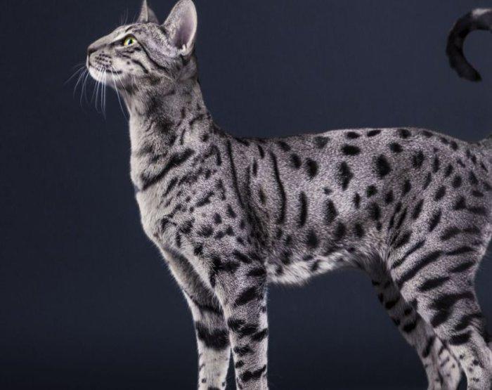 Кошка саванна окрас серебро