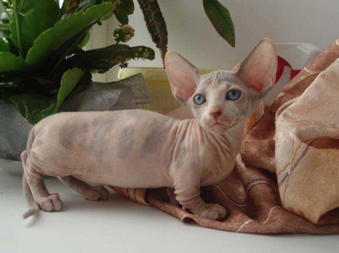 Цена на котят бамбино стартует от 50000 рублей