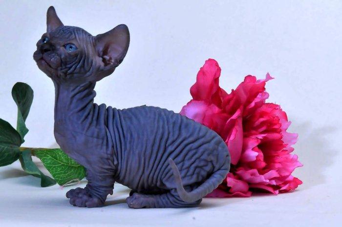 За кошками породы бамбино легко ухаживать
