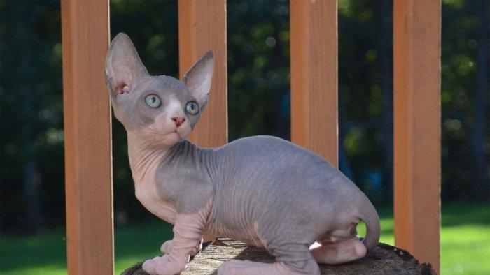Кошки бамбино дружелюбные и нежные