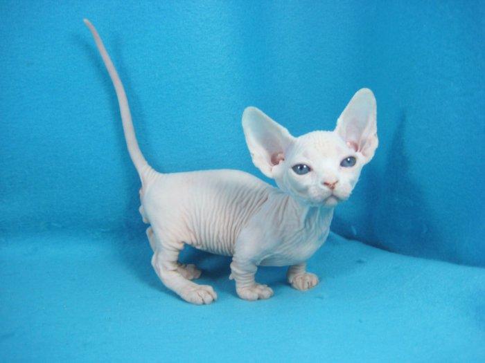 Трёхмесячный котёнок бамбино