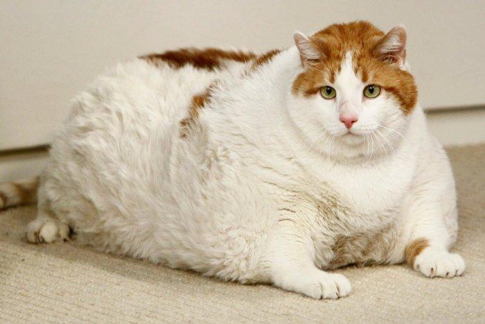 Ожирение – одна из причин запоров у кошек